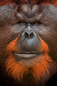 Orang utan (Pongo pygmaeus) head portrait of dominant male called Aman. He is the first orangutan in the world to have had his cataracts operated on and his eye sight restored. Matang wildlife centre,...  -  Edwin Giesbers