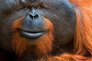 Orang utan (Pongo pygmaeus) head portrait of dominant male called Aman. He is the first orangutan in the world to have his eye sight restored . Matang wildlife centre, Sarawak, Borneo, Malaysia, June... - Edwin Giesbers