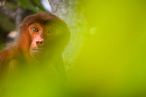 Proboscis Monkey (Nasalis larvatus) female sitting in tree, partially obscured by soft focus leaves in foreground, Bako National Park, Sarawak, Borneo, Malaysia - Edwin Giesbers