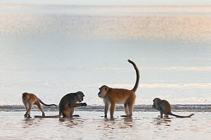 Four Long-tailed / Crab-eating macaques (Macaca fascicularis) foraging on coastline in shallow water with waves, Bako National Park, Sarawak, Borneo, Malaysia - Edwin Giesbers