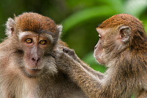 Two Long-tailed / Crab-eating macaques (Macaca fascicularis) one grooming the other, Bako National Park, Sarawak, Borneo, Malaysia  -  Edwin Giesbers