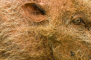 Bearded pig (Sus barbatus) close-up of eye and ear,  Bako National Park, Sarawak, Borneo, Malaysia - Edwin Giesbers