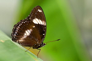 Clipper butterfly (Parthenos sylvia) at rest on leaf. - Edwin Giesbers