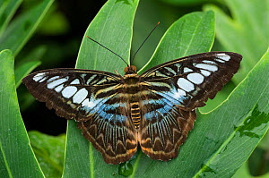 RF- Clipper butterfly (Parthenos sylvia) wings open, at rest on leaf. (This image may be licensed either as rights managed or royalty free.) - Edwin  Giesbers