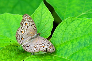 RF- Grey pansy butterfly (Junonia atlites) at rest with wings open. (This image may be licensed either as rights managed or royalty free.)  -  Edwin  Giesbers