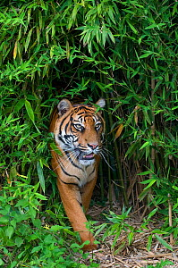 Sumatran tiger (Panthera tigris sumatrae) walking in bamboo vegetation, captive - Edwin Giesbers