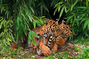 Sumatran tiger, (Panthera tigris sumatrae) two cubs aged three months, playing together, captive  -  Edwin Giesbers