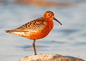 Curlew sandpiper (Calidris ferruginea) standing on rock, Finland, July  -  Markus Varesvuo