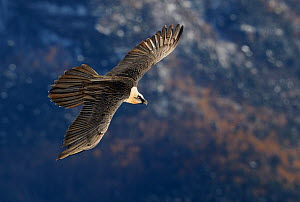 Lammergeier / Bearded vulture (Gypaetus barbatus) flying, Spain, November  -  Markus Varesvuo