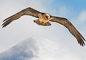 Bearded vulture (Gypaetus barbatus) flying, Spain, November  -  Markus Varesvuo