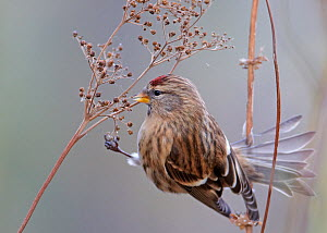 Redpoll (Carduelis flammea) feeding on seed head, Finland, October  -  Markus Varesvuo