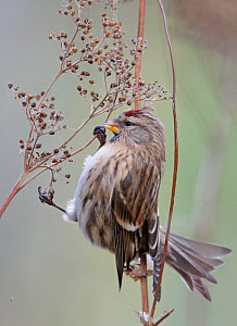 Redpoll (Carduelis flammea) on seed head Finland, October  -  Markus Varesvuo