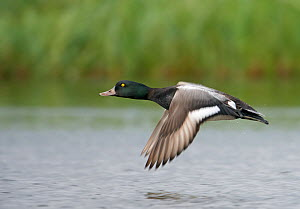 Male Greater scaup (Aythya marila) flying over water, Iceland, June  -  Markus Varesvuo