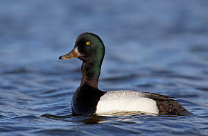 Male Greater scaup (Aythya marila) on water, Iceland, June  -  Markus Varesvuo