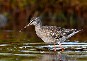 Juvenile Spotted redshank (Tringa erythropus) walking through water, Finland, August - Markus Varesvuo