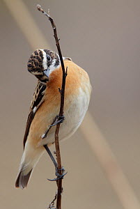 Whinchat (Saxicola rubetra) perched on dried plant stem, Finland, April  -  Markus Varesvuo