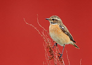 Whinchat (Saxicola rubetra) perched on dried Dock (Rumex sp) stems, Finland, May  -  Markus Varesvuo
