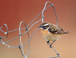 Whinchat (Saxicola rubetra) perched on wire, Finland, May  -  Markus Varesvuo