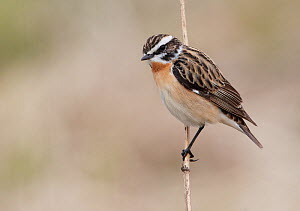 Whinchat (Saxicola rubetra) perched on stem, Finland, May  -  Markus Varesvuo