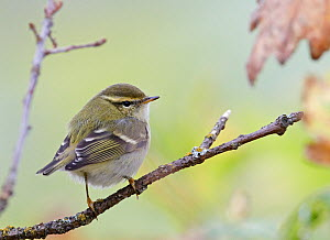 Yellow browed warbler (Phylloscopus inornatus) perched on branch, Finland, October  -  Markus Varesvuo
