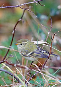 Yellow browed warbler (Phylloscopus inornatus) perched on twig, Finland, October  -  Markus Varesvuo