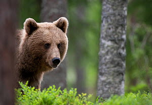 Young female European Brown Bear (Ursus arctos) in woodland. Martinselkonen, Suomassalmi, Finland, June. - Peter Cairns
