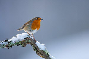 Robin (Erithacus rubecula) perched on snowy twig. Glenfeshie, Scotland, February. - Peter Cairns