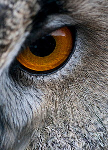 RF- Close-up of a European Eagle Owl (Bubo bubo) eye. Captive. (This image may be licensed either as rights managed or royalty free.)  -  Peter Cairns