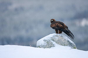 Golden Eagle (Aquila chrysaetos) on a snowy rock. Scotland, UK, February. - Peter Cairns