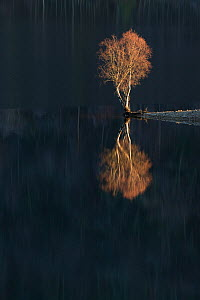 Silver Birch (Betula verrucosa) reflected in Loch Beinn a' Mheadhoin. Glen Affric National Nature Reserve, Scotland, December.  -  Peter Cairns