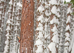 Great-Spotted Woodpecker (Dendrocopus major) in winter pine forest. Cairngorms National Park, Scotland, January. - Peter Cairns