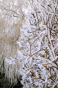 Heavily hoar-frosted Philadelphus bush and Weeping willow tree, Wiltshire garden, UK, December 2010  -  Nick Upton