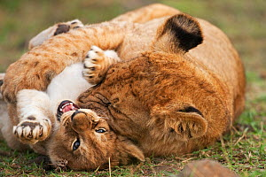 Lion cub  (Panthera leo), aged 7 months, bullying a younger cub aged 2-3 months. Masai Mara National Reserve, Kenya, September 2009  -  Anup Shah