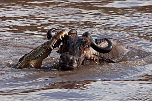 Nile crocodile (Crocodylus niloticus) attacking a Wildebeest (Connochaetes taurinus) as it crosses the Mara River. Masai Mara National Reserve, Kenya, September 2009  -  Anup Shah