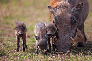 Warthog female (Phacochoerus africanus) feeding with piglets. Masai Mara National Reserve, Kenya, October 2009  -  Anup Shah