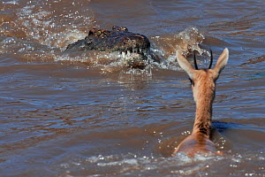 Nile crocodile (Crocodylus niloticus) attacking a Thomson's gazelle (Eudorcas thomsonii) as it crosses the Mara River. Masai Mara National Reserve, Kenya, October 2009  -  Anup Shah