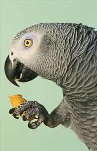 African grey parrot (Psittacus erithacus) captive, holding peanuts case in claw, feeding, Endangered species - Ernie Janes