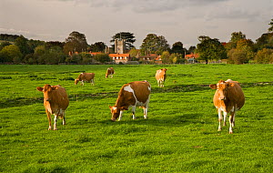 Ayrshire dairy herd of Domestic cattle grazing in field with village in background, Hambleden, Bucks, UK, October 2006  -  Ernie Janes