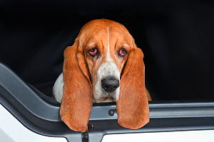 Basset hound, portrait, looking out of car, UK - Ernie Janes