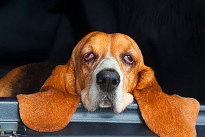 Basset hound, portrait, resting head on back of car, eyes half closed, UK  -  Ernie Janes