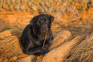 Black labrador dog resting on reeds used by thatcher to thatch roof, Norfolk, UK, November  -  Ernie Janes