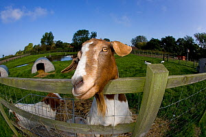 Boer domestic goat (Capra hircus) waiting to be fed, Norfolk, UK, September  -  Ernie Janes