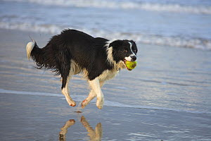 Border collie running along beach with ball in its mouth, Norfolk, UK, October - Ernie Janes
