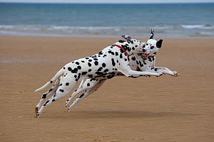 Dalmation dogs playing on beach, Norfolk, UK, August  -  Ernie Janes