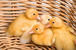 Domestic ducks, newly hatched ducklings in basket, UK - Ernie Janes