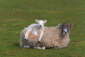 Domestic sheep, ewe with lamb resting on her back, Norfolk, UK, March  -  Ernie Janes