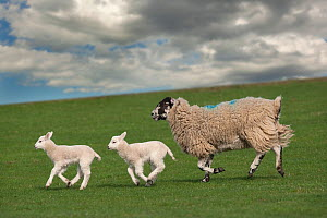Domestic sheep, ewe with two lambs, running, Norfolk, UK, March  -  Ernie Janes