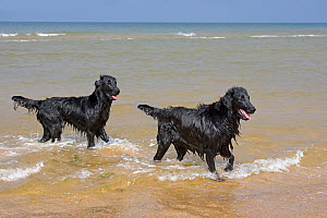 Domestic dogs,  two black Flat-coated Retrievers at coast, Holkham, Norfolk, UK, September 2008  -  Ernie Janes