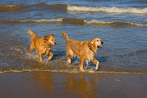 Domestic dog, two Golden retrievers coming out of water on beach, UK, October  -  Ernie Janes
