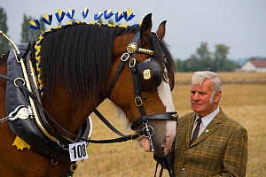 Domestic horse, Shire horse and owner, Norfolk, UK, September 2008  -  Ernie Janes